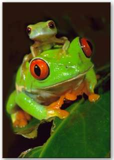 Red Eye Tree Frogs and baby fridge magnet.